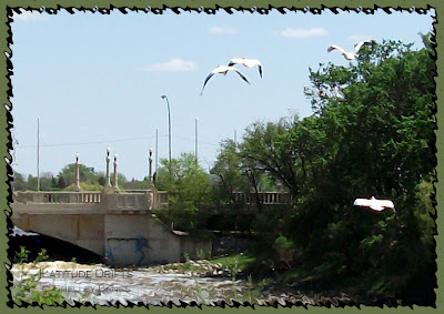 Pelicans in flight over Regina's Albert Street Bridge