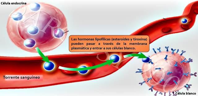 Mecanismo de acción de las hormonas de las glándulas endocrinas