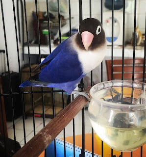 harga-burung-lovebird-violet-2019