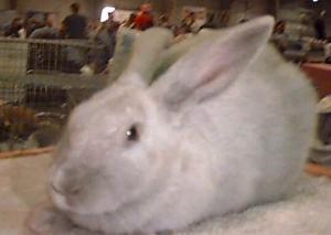 Beveren Rabbit Pictures