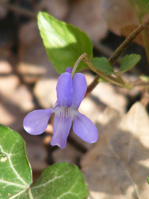 Early Dog Violet Viola reichenbachiana.  Indre et Loire, France. Photographed by Susan Walter. Tour the Loire Valley with a classic car and a private guide.
