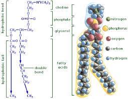 Fungsi dan Jenis Lipid