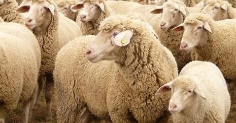 تفسير حلم رؤية الخروف او الكبش او الغنم او الماعز في المنام لابن سيرين غرائب