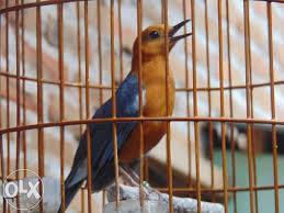 Tips Supaya Burung Anis Merah Bersuara Gacor