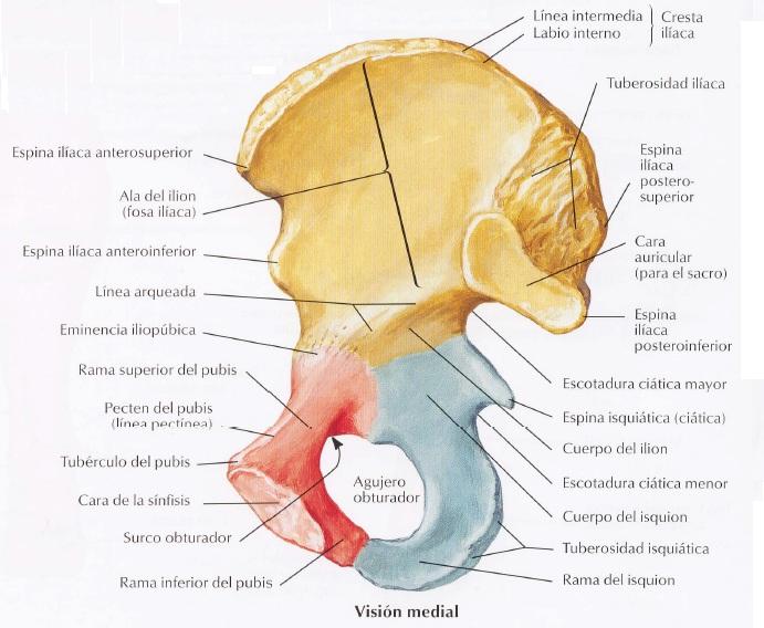 Osteología Miembro Inferior - Kinesiología para Estudiantes