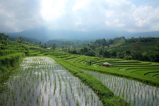 Rizières Jatiluwih à Bali