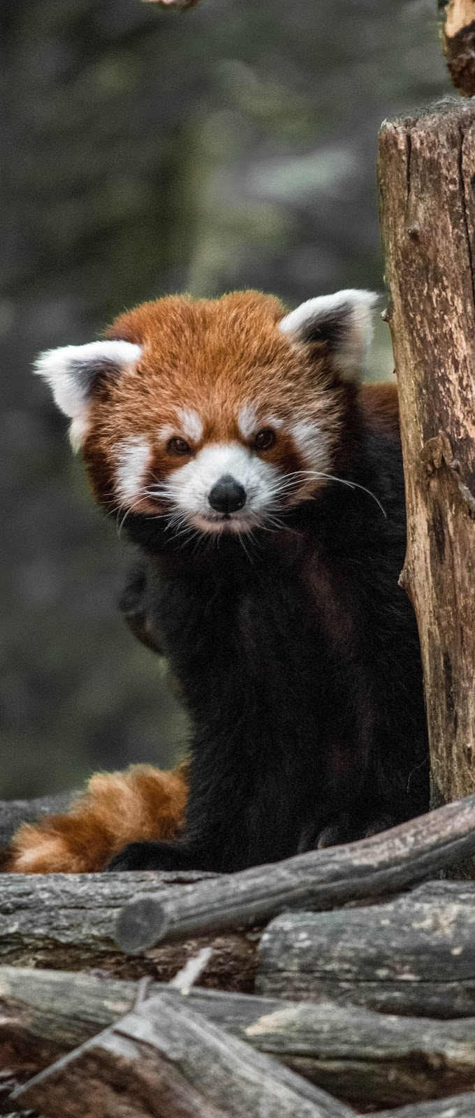 Photo of a red panda.