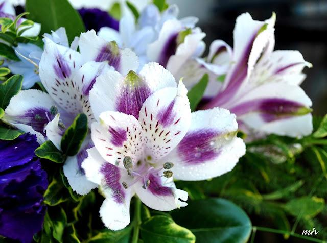 hoa ly peru 1
