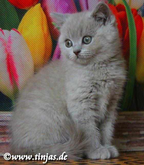 Katzenbabys Britisch Kurzhaar abzugeben tinjas Farbe : lilac 2017 05 10 8
