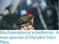 https://sciencythoughts.blogspot.com/2017/11/machaeropterus-eckelberryi-new-species.html
