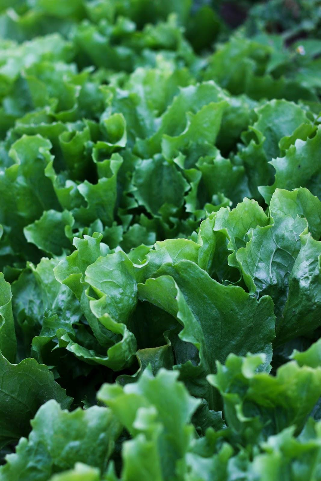 Acker, Winter, Ernte, Salat, Fleurcoquet