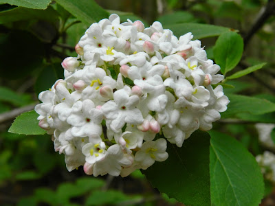 Viburnum x carlcephalum Fragrant  Snowball  flower by garden muses-not another Toronto gardening blog