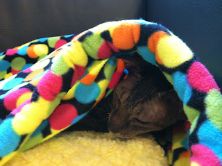 Kely the Cornish Rex napping in a fleece bed