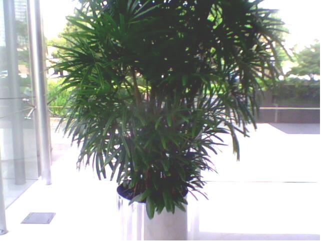 sewa tanaman palem wergu