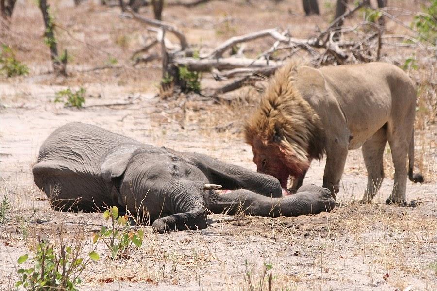Snake eating elephant