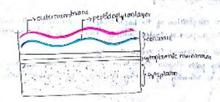 cellwall of gram negative bacteria,-ve bacteria