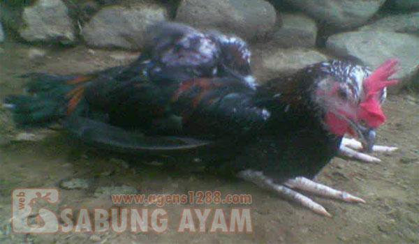 Mengobati Telih yang tidak Kunjung Turun atau Kempis Pada Ayam Aduan