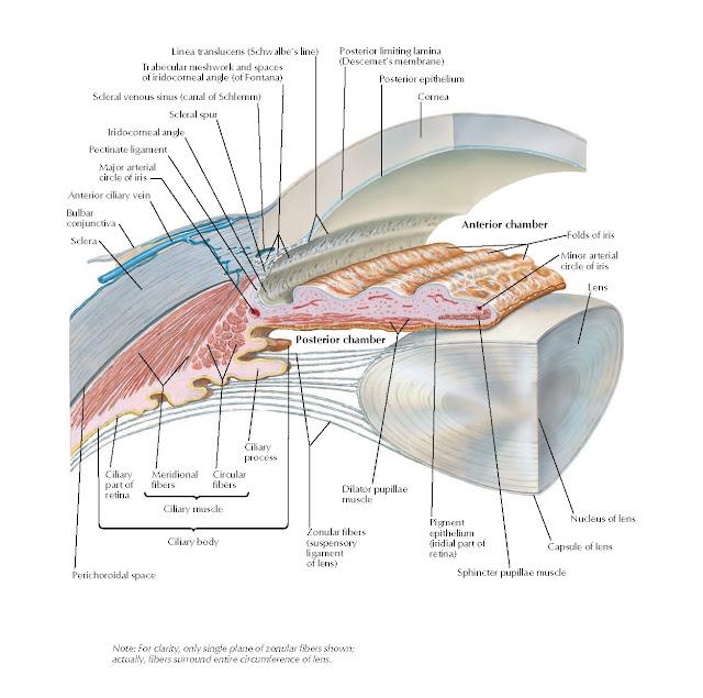 Anterior and Posterior Chambers of Eyeball Anatomy