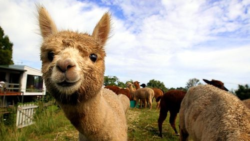 Epic Animal Wallpapers Epic Book Nerd The Alpaca Edition