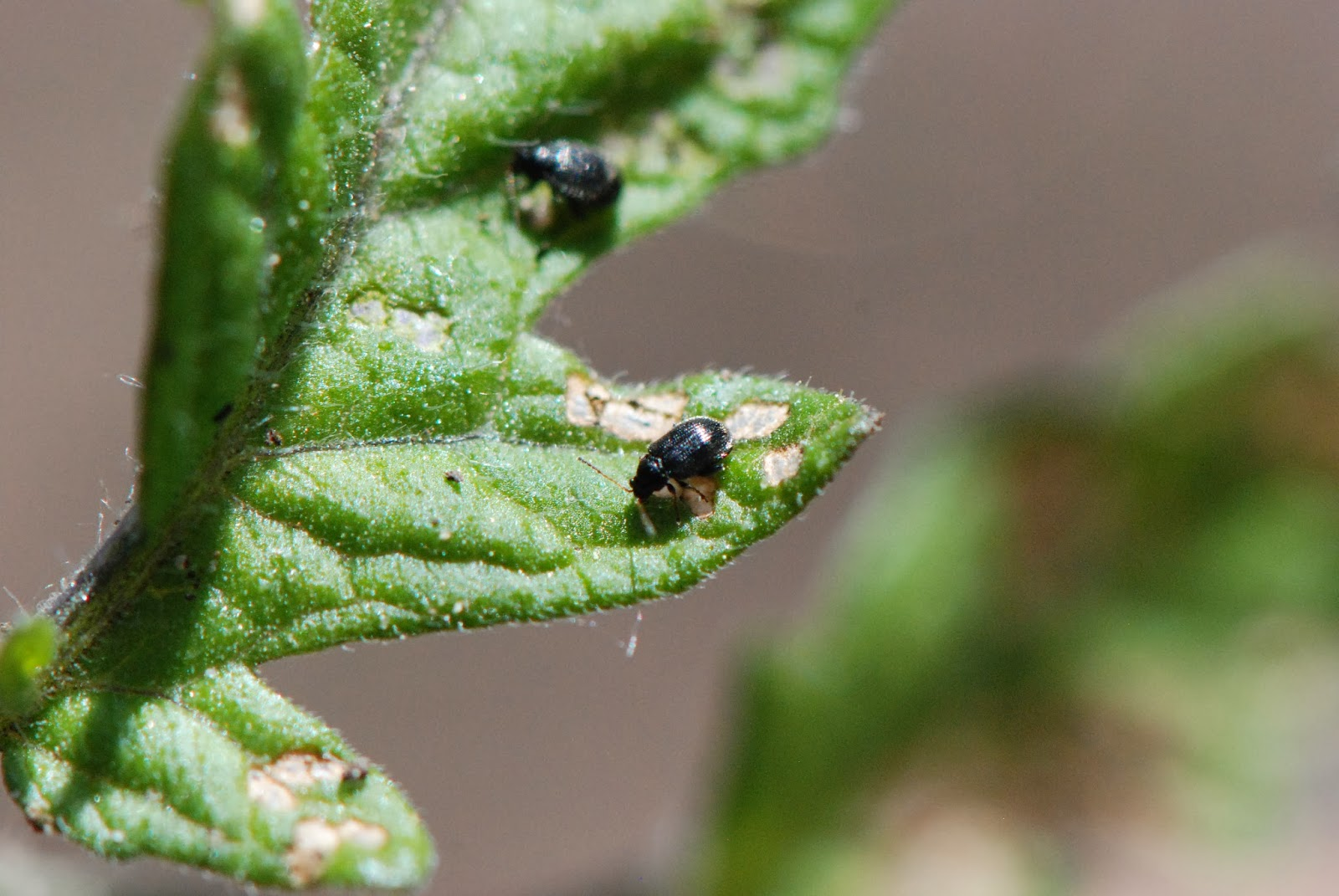 Two flea beetles eating on a tomato leaf