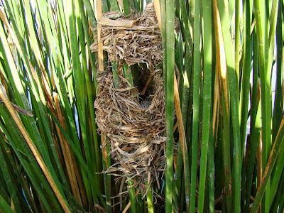 nido de junquero
