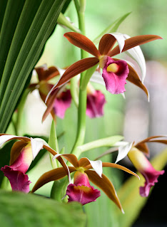 Orchids in bloom in Puriscal