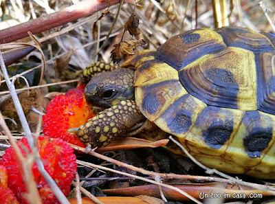 Juvenil alimentándose del fruto del madroño (Arbutus unedo), a inicios del otoño