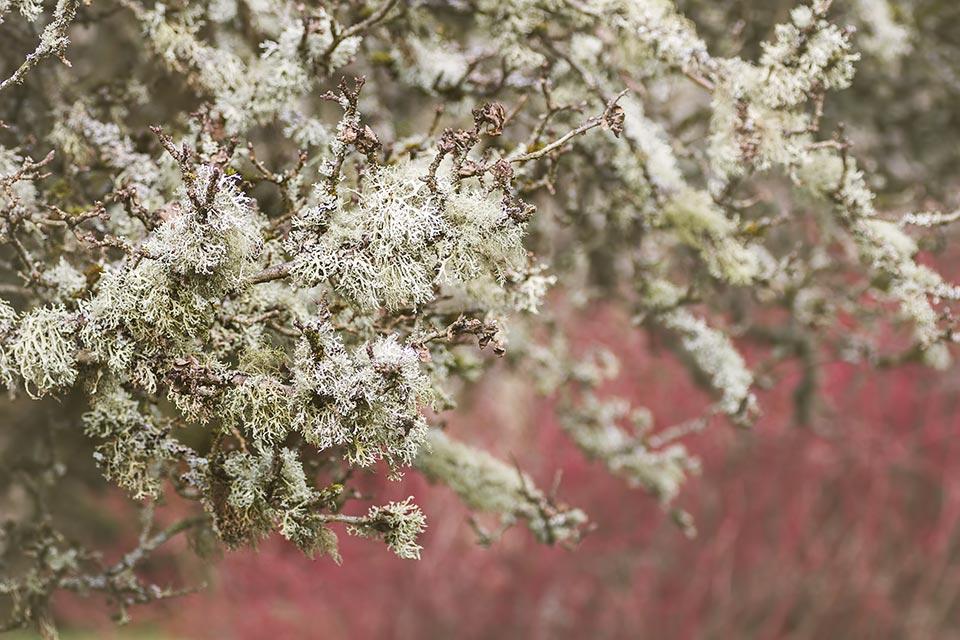 winter garden photography - Fruticose lichen