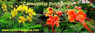 Hepatitis C use Caesalpinia Pulcherrina