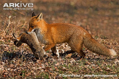 Red fox and European Rabbit