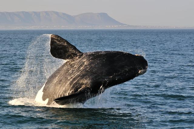 Ballena en las costas de Hermanus, Sudáfrica