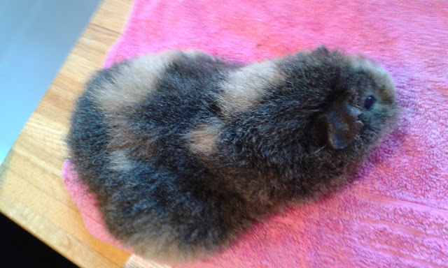 Gorgeous Guineas Molly after Aloe Melt application