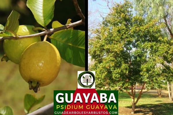 La guayaba, Psidium guayava, árbol que alcanza una altura de 2 a 4 m