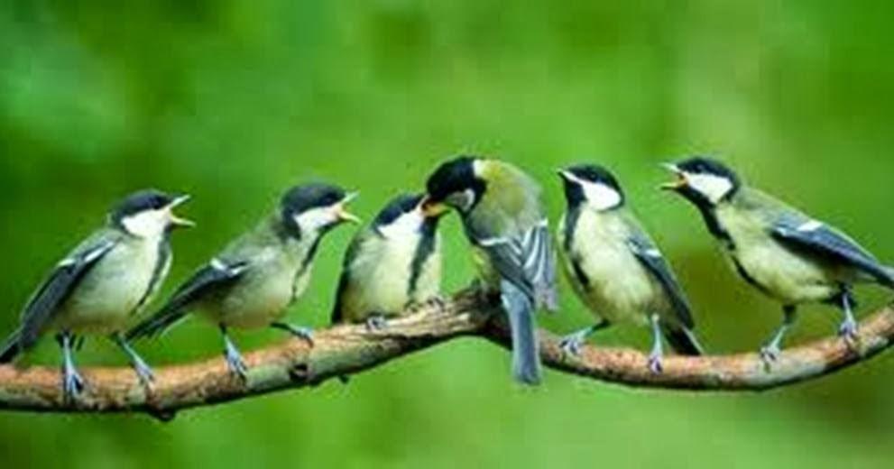 Burung Kicau Perbedaan Gelatik Wingko Jantan Dan Betina Gelatik Batu
