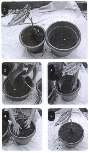 Cara repotting tanaman hias