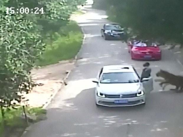 Veja vídeo: Tigres atacam e matam uma mulher