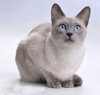 Tìm hiểu về giống mèo Xiêm – mèo Siamese