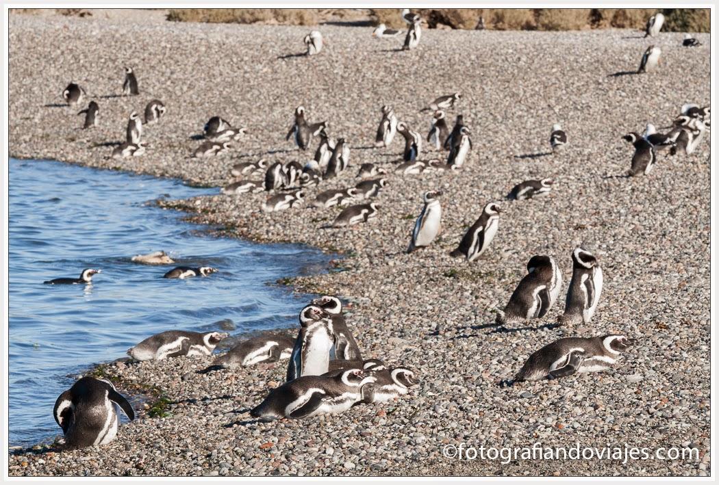 colonia pingüinos de Magallanes
