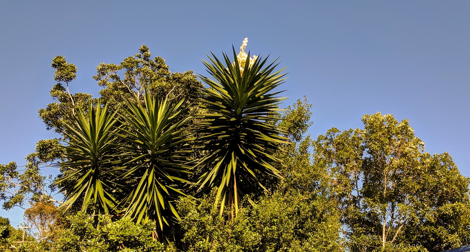 Mei and John: Yucca type tree with flowers up top, in neighbours garden