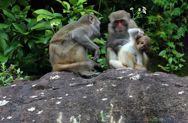 family of primates, monkey