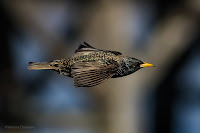 European / Common Starling - Birds In Flight Photography Cape Town with Canon EOS 7D Mark II  Copyright Vernon Chalmers