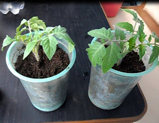 Срезка и укоренение рассады помидоров