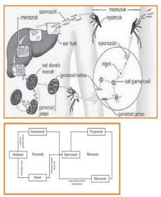 Pengertian, Karakteristik, Klasifikasi Protozoa