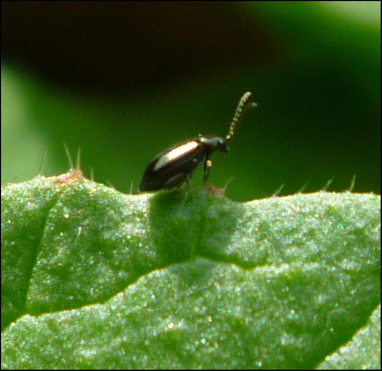 Patio Of Pots Organic Flea Beetle Control