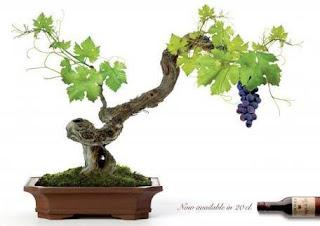 bonsai buah anggur