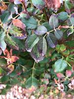 Compound leaf of rosebush with blackened margins on leaflets.
