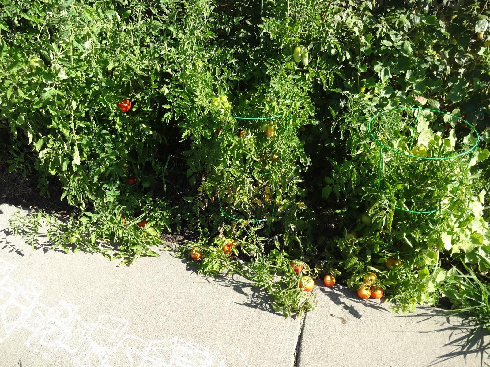 san marzano tomato plants
