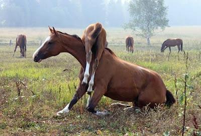 Curiosa imagen de yegua llevando a su cria