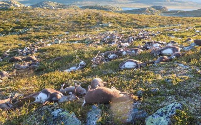 Video muestra cómo un rayo mata a 300 renos en Noruega