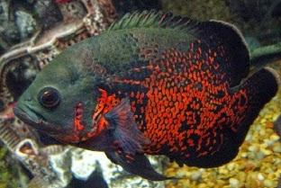 Makanan ikan oskar, Astronotus, Astronotus ocellatus, Ikan Oscar, umpan tepat mancing ikan Oscar, rahasia umpan, resep umpan, Beberapa macam Tehnik Mancing, ampuh, Macam, Ikan Hias, umpan alami, Umpan tepat,